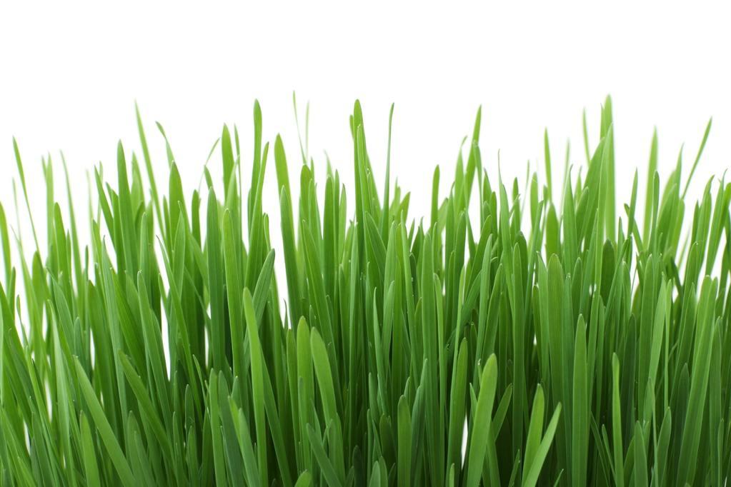 5 Evidence-Based Wheatgrass Benefits - Swolverine